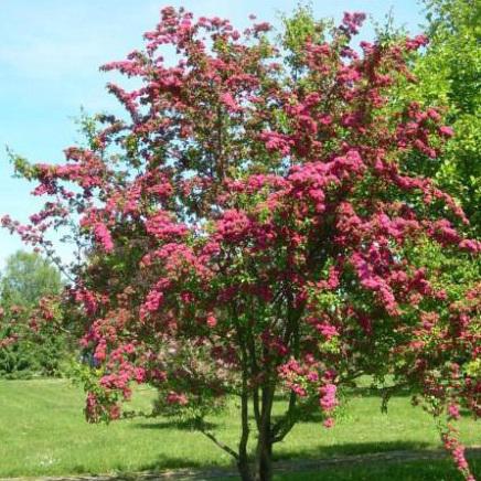 Træer med rødt løv