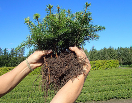 plants quality christmas trees, plants christmas trees, healthy plants christmas trees, christmas trees, plants quality greenery, plants quality christmas tree, greenery