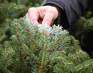 Origin Christmas trees, origin Greenery, danish origins christmas trees, danish origins greenery, nordmann fir, abies nordmanniana