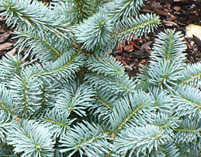 abies lasiocarpa, Corkbark Fir, Alpine Fir, Subalpine Fir, plants christmas tree, plants greennery