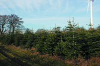 abies nordmanniana, christmas trees
