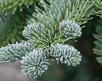 abies procera, noble fir, fir, plants christmas tree, plants greenery,