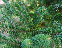 abies fraserii, fraser fir, fir, plants christmas tree, plants greennery