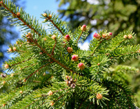 picea abies, norway spruce, plants christmas tree, plants greenery, conifer